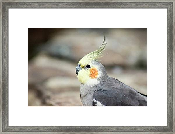 Framed Print featuring the photograph Close Up Of A Cockatiel by Rob D Imagery