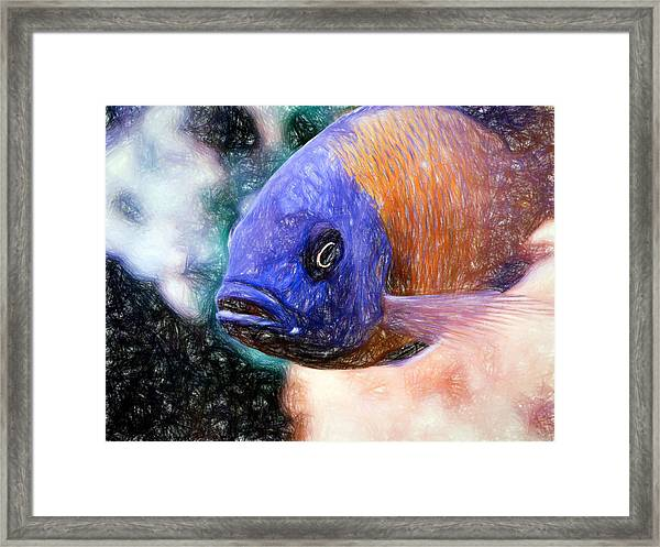 Colored Pencil Red Fin Borleyi Cichlid Framed Print