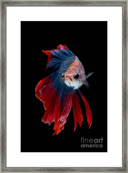 Colourful Betta Fish,siamese Fighting Framed Print by Nuamfolio