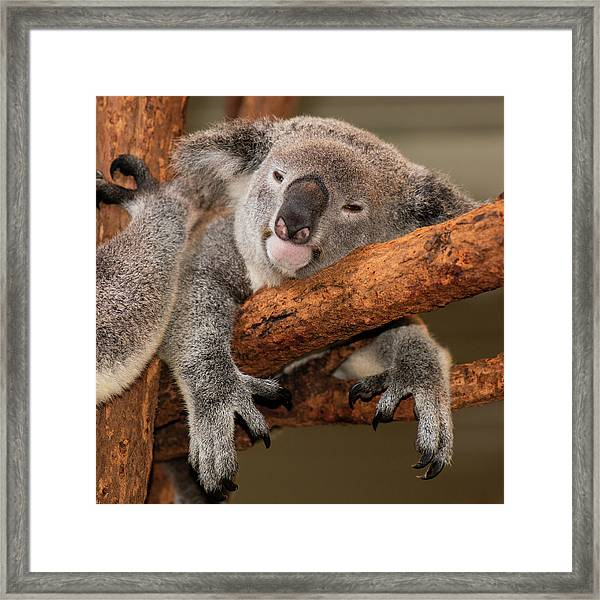 Framed Print featuring the photograph Cute Australian Koala Resting During The Day. by Rob D Imagery