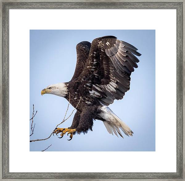 Eagle Coming In For A Landing Framed Print
