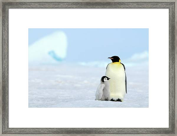 Emperor Penguin Framed Print by Tcyuen