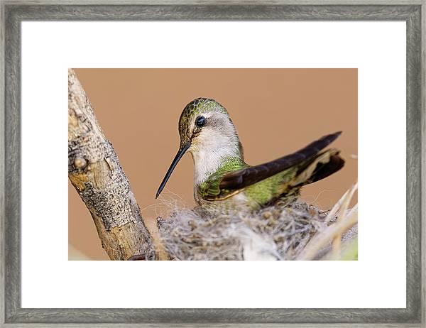 Female Anna's Hummingbird On Nest Framed Print by Adam Jones