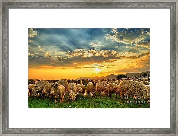 Flock Of Sheep Grazing In A Hill At Framed Print