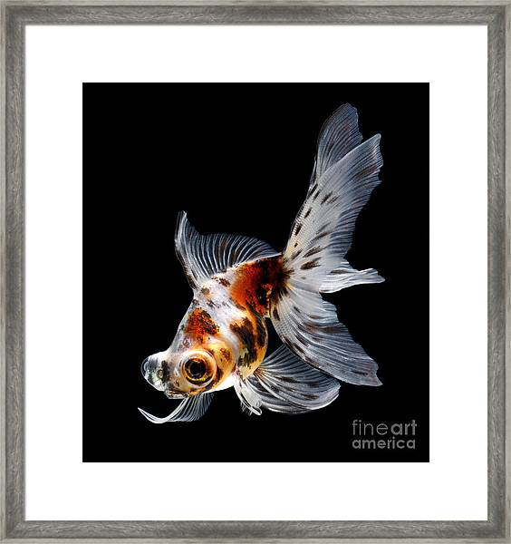 Goldfish Isolated On Black Background Framed Print