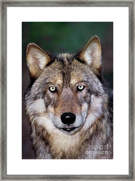 Gray Wolf Portrait Endangered Species Wildlife Rescue Framed Print