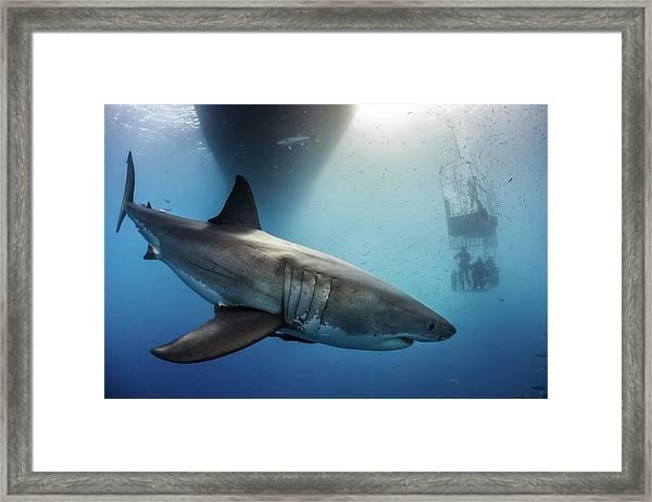 Great White Shark Framed Print