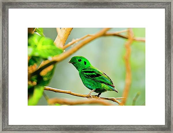 Green Broadbill Framed Print by By Ken Ilio