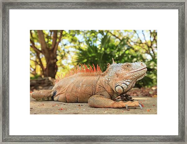 Green Iguana Farm, East End Of Roatan Framed Print by Stuart Westmorland