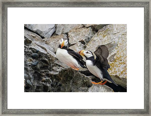 Horned Puffin Pair 2 Framed Print
