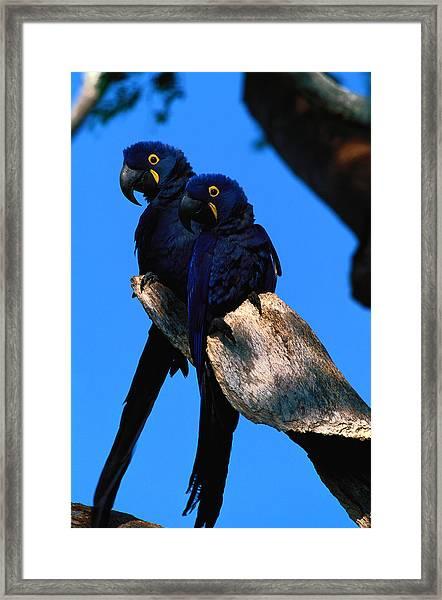 Hyacinth Macaws Anodorhynchus Framed Print by Art Wolfe