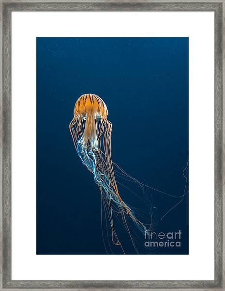 Jellyfish Framed Print by Ileysen