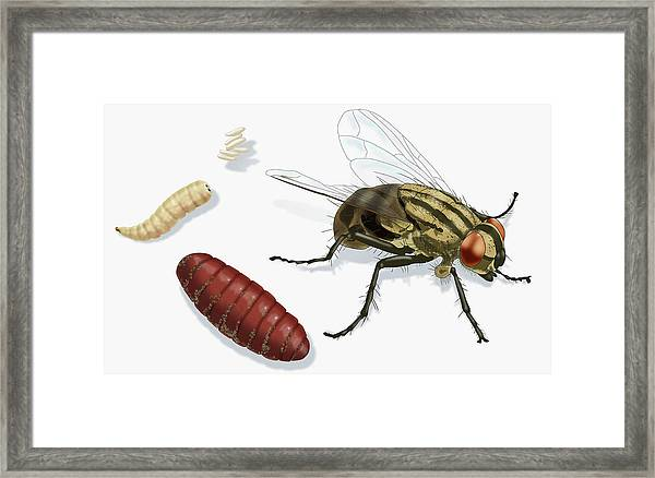 Life Stages Of A House Fly, Illustration Framed Print by Monica Schroeder