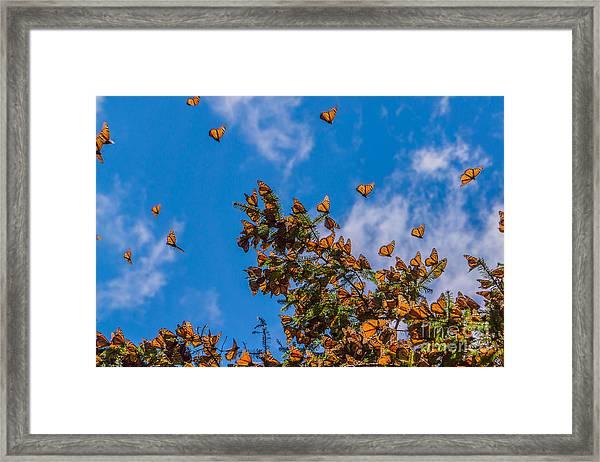 Monarch Butterflies On Tree Branch In Framed Print