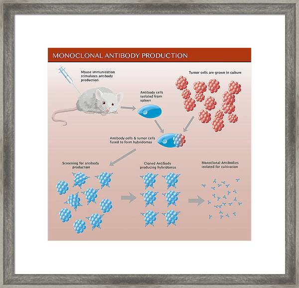 Monoclonal Antibody Production Framed Print by Monica Schroeder