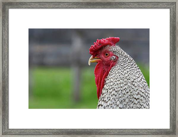 New York Black And White Rooster Framed Print by Cindy Miller Hopkins