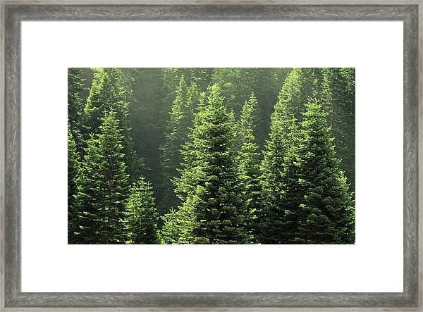 Pine Tree Framed Print