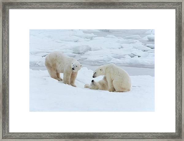 Polar Bears In The Wild. A Powerful Framed Print by Mint Images - David Schultz