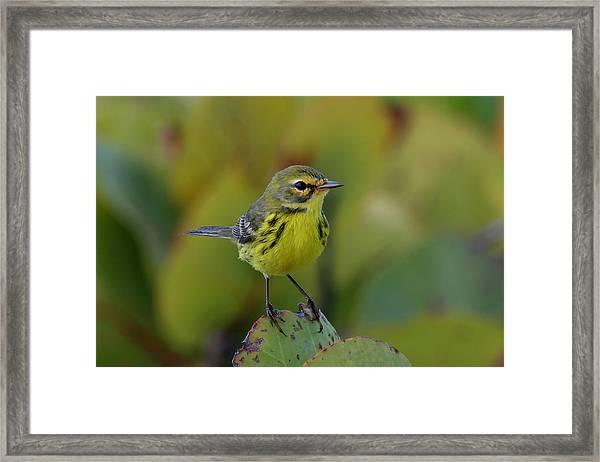 Prairie Warbler Framed Print