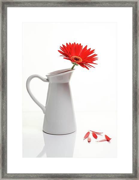 Red Gazania Flower On A White Stylish Vase. Creative Still Life  Framed Print