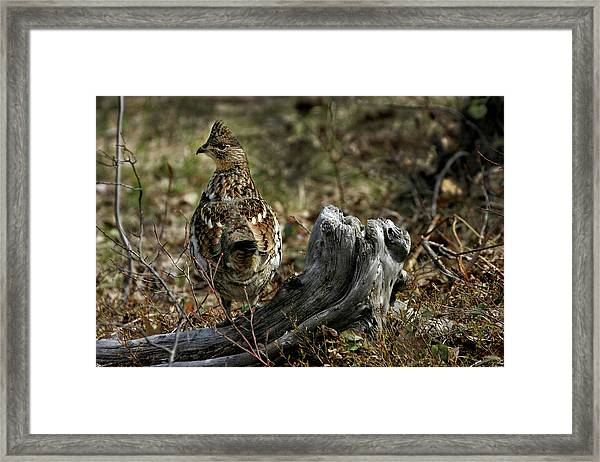 Ruffed Grouse 50701 Framed Print