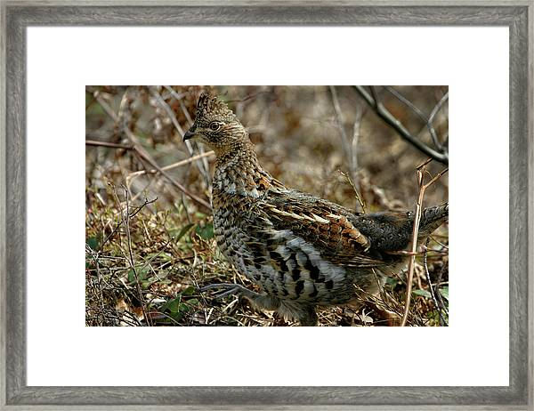 Ruffed Grouse 50702 Framed Print