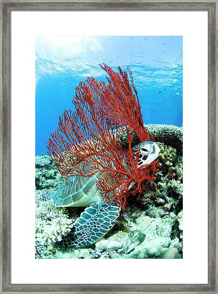Sea Turtle Resting Underwater Framed Print