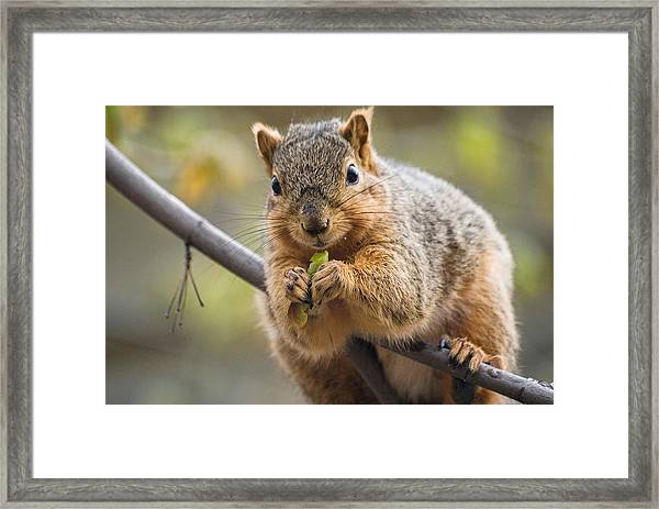 Snacking Squirrel Framed Print