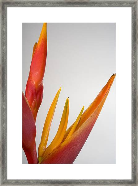 Studio Shot Of Orange And Red Heliconia Framed Print by Design Pics/tomas Del Amo