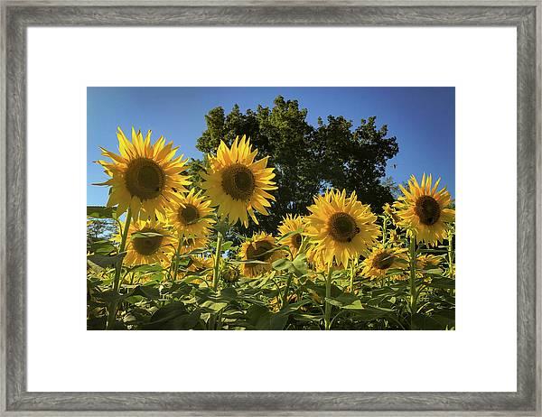 Sunlit Sunflowers Framed Print