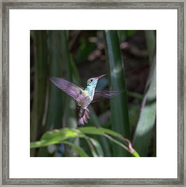 Versicolored Emerald Hummingbird Hovers Framed Print