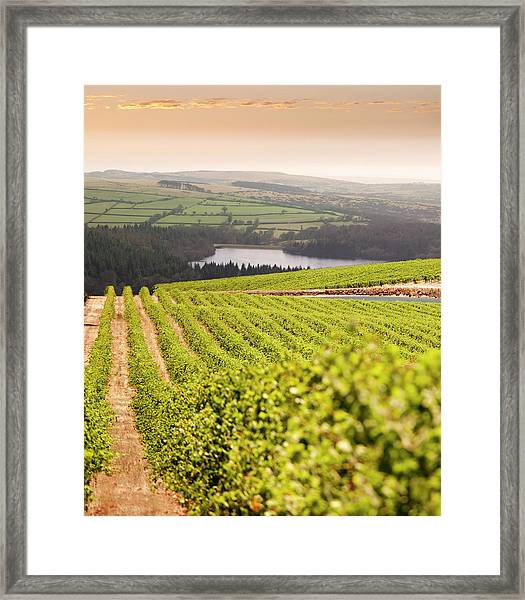 Vineyard At Sunset Framed Print by Lockiecurrie