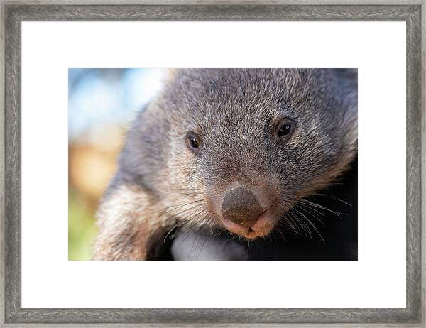 Framed Print featuring the photograph Wombat Outside During The Day. by Rob D Imagery