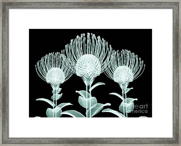 Xray Image Of A Flower  Isolated On Framed Print