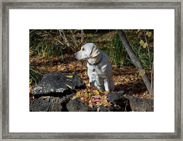 Yellow Labrador Retriever Framed Print by William Mullins