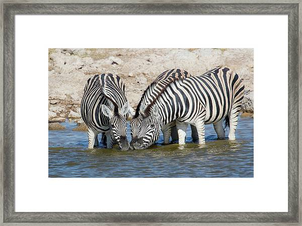 Zebras Lined Up Drinking At Waterhole Framed Print by Darrell Gulin