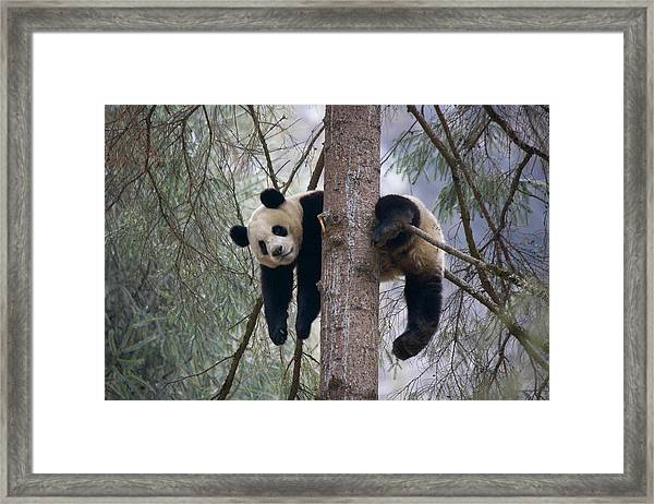 China, Sichuan Province, Wolong, Giant Framed Print by Keren Su