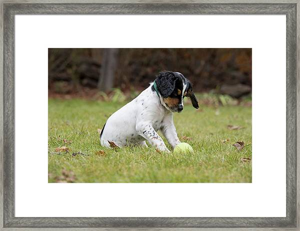 English Setter Puppy, 8 Weeks Framed Print by William Mullins