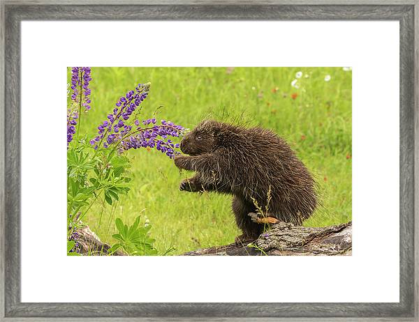 Usa, Minnesota, Minnesota Wildlife Framed Print by Jaynes Gallery