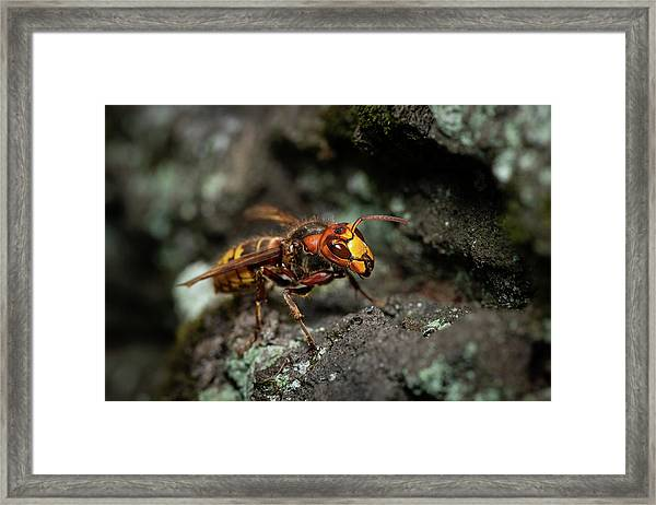 A European Hornet Sitting On A Tree Framed Print