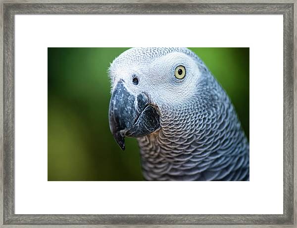 Framed Print featuring the photograph African Grey Parrot by Rob D Imagery