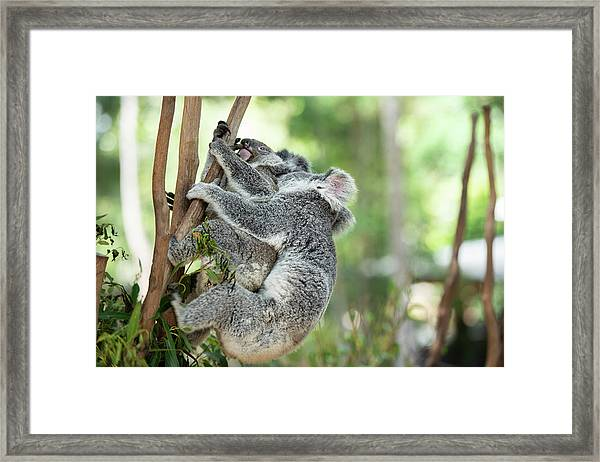 Framed Print featuring the photograph Australian Koalas by Rob D Imagery