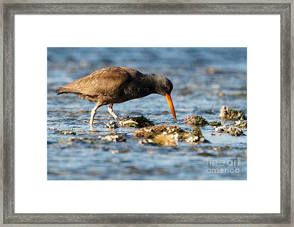 Black Oystercatcher Pacific Coast Framed Print