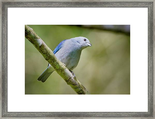 Blue-gray Tanager San Jorge Ibague Colombia Framed Print