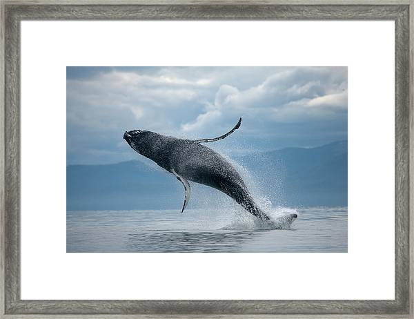 Breaching Humpback Whale, Alaska Framed Print by Paul Souders