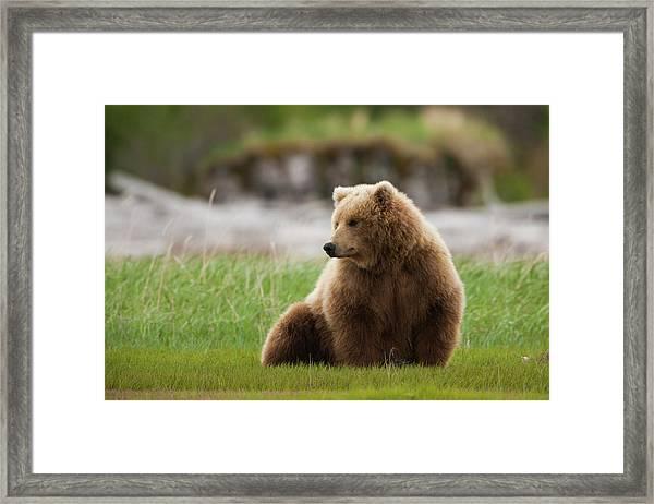 Brown Bear, Katmai National Park Framed Print by Mint Images/ Art Wolfe