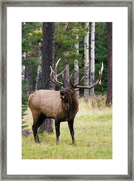 Bull Elk Bugling Framed Print by Ken Archer
