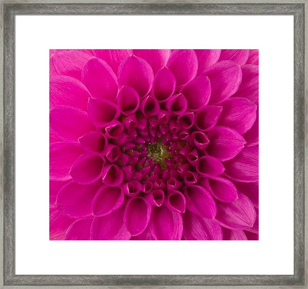 Dahlia Framed Print by Vidok