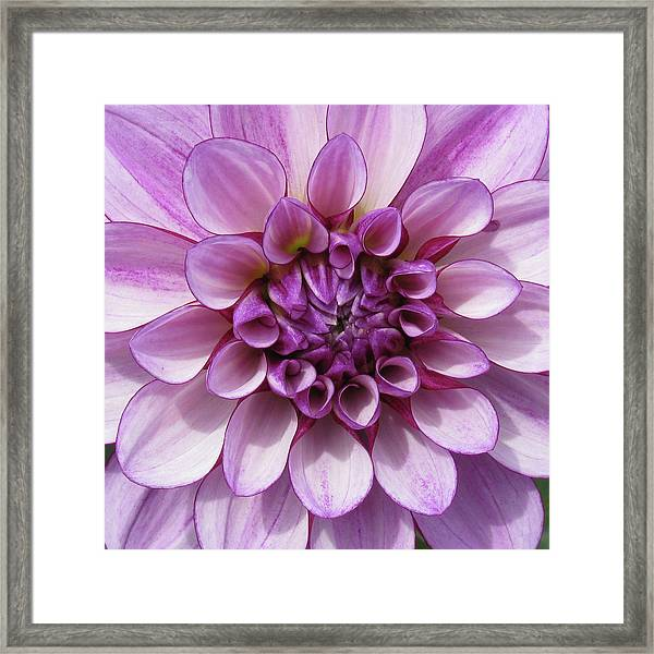 Dahlia_0722_13 Framed Print