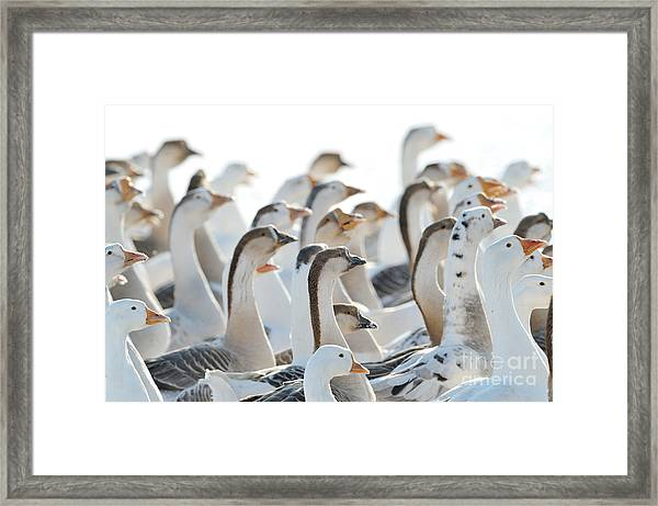 Domestic Geese Outdoor In Winter Framed Print